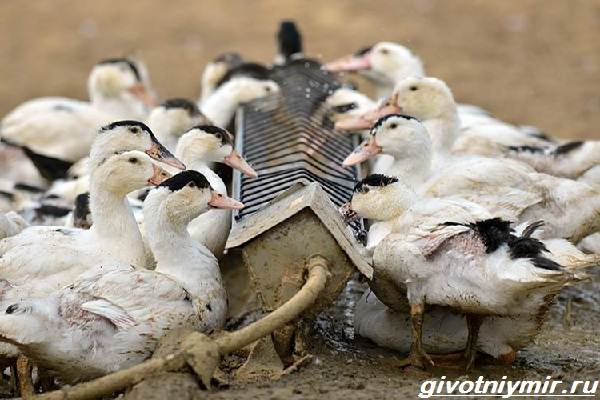 Утка-мулард-Образ-жизни-и-среда-обитания-утки-мулард-6