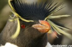Хохлатый пингвин. Образ жизни и среда обитания хохлатого пингвина