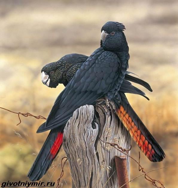 фото чёрный какаду