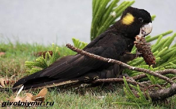 Черный-какаду-Образ-жизни-и-среда-обитания-черного-какаду-4
