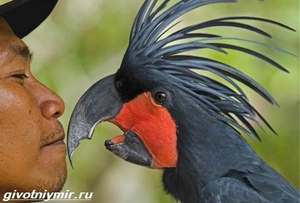 Черный-какаду-Образ-жизни-и-среда-обитания-черного-какаду-5