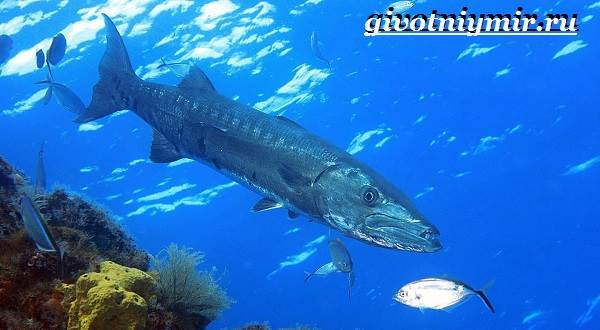 Барракуда-рыба-Образ-жизни-и-среда-обитания-рыбы-барракуды-1