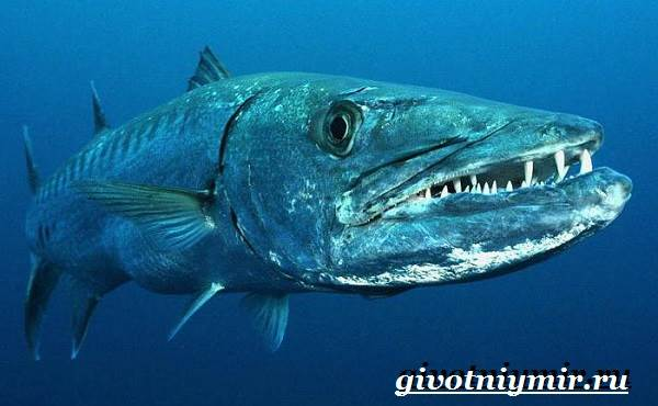 Барракуда-рыба-Образ-жизни-и-среда-обитания-рыбы-барракуды-3