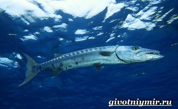 Барракуда-рыба-Образ-жизни-и-среда-обитания-рыбы-барракуды-5