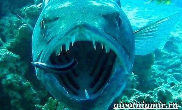 Барракуда-рыба-Образ-жизни-и-среда-обитания-рыбы-барракуды-6