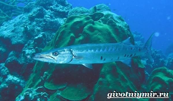 Барракуда-рыба-Образ-жизни-и-среда-обитания-рыбы-барракуды-9