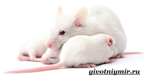 Белая-крыса-Образ-жизни-и-среда-обитания-белой-крысы-1