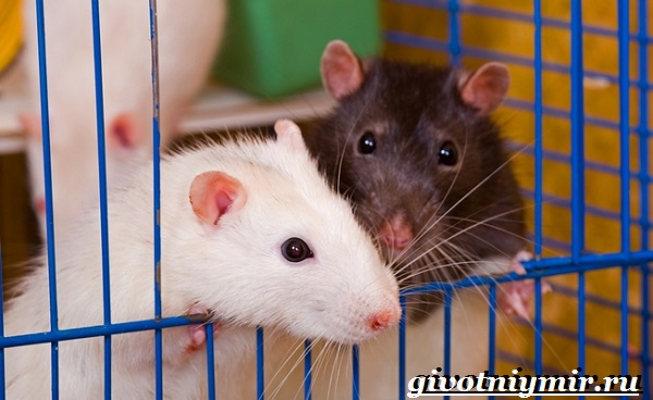 Белая-крыса-Образ-жизни-и-среда-обитания-белой-крысы-11