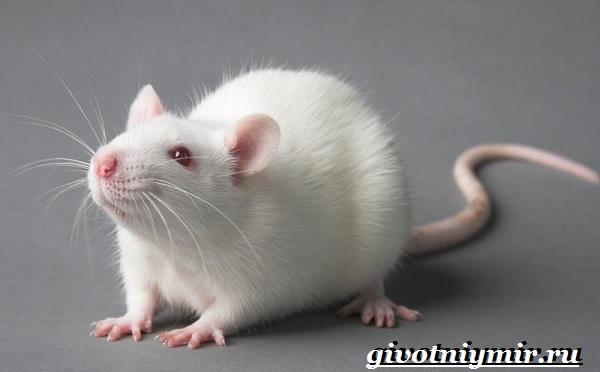 Белая-крыса-Образ-жизни-и-среда-обитания-белой-крысы-12