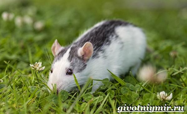 Белая-крыса-Образ-жизни-и-среда-обитания-белой-крысы-13