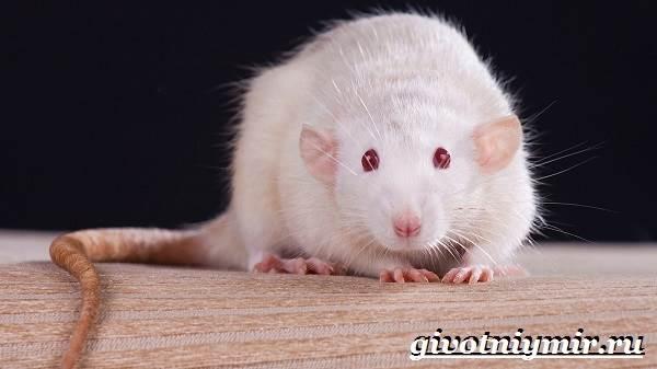 Белая-крыса-Образ-жизни-и-среда-обитания-белой-крысы-2