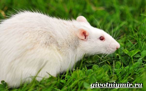 Белая-крыса-Образ-жизни-и-среда-обитания-белой-крысы-3