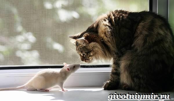 Белая-крыса-Образ-жизни-и-среда-обитания-белой-крысы-5