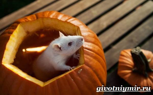 Белая-крыса-Образ-жизни-и-среда-обитания-белой-крысы-6