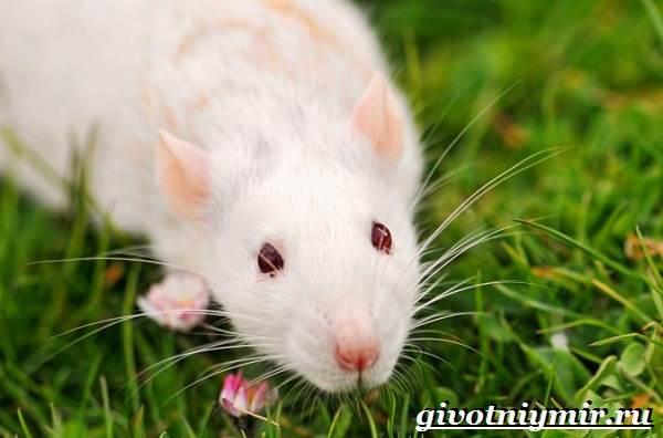 Белая-крыса-Образ-жизни-и-среда-обитания-белой-крысы-7
