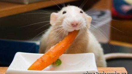 Белая крыса. Образ жизни и среда обитания белой крысы