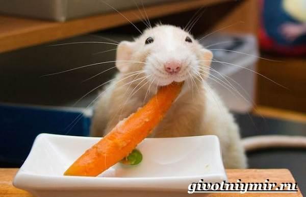 Белая-крыса-Образ-жизни-и-среда-обитания-белой-крысы-8