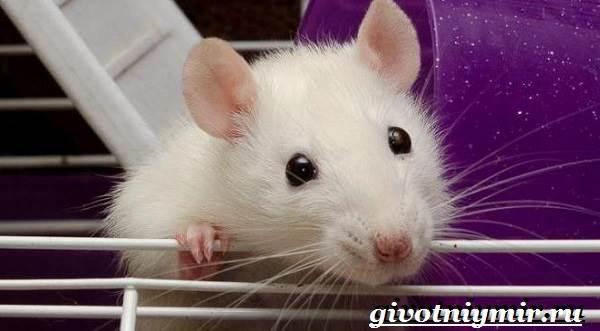 Белая-крыса-Образ-жизни-и-среда-обитания-белой-крысы-9