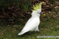 Белый какаду попугай. Образ жизни и среда обитания белого какаду