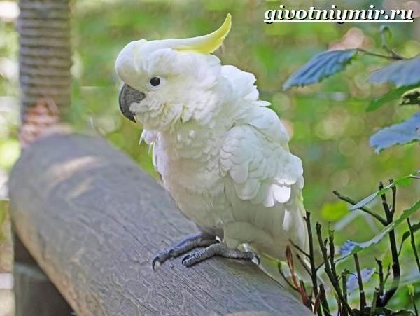 belyj-kakadu-popugaj-obraz-zhizni-i-sreda-obitaniya-belogo-kakadu-8