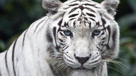 Белый тигр. Образ жизни и среда обитания белого тигра