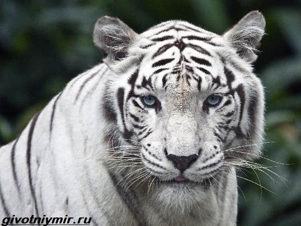 Белый-тигр-Образ-жизни-и-среда-обитания-белого-тигра-1