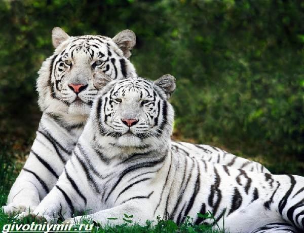 Белый-тигр-Образ-жизни-и-среда-обитания-белого-тигра-2
