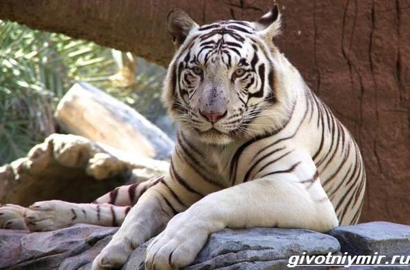 Белый-тигр-Образ-жизни-и-среда-обитания-белого-тигра-4