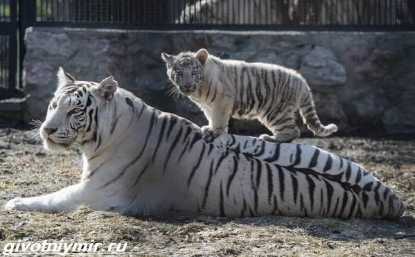Белый-тигр-Образ-жизни-и-среда-обитания-белого-тигра-5