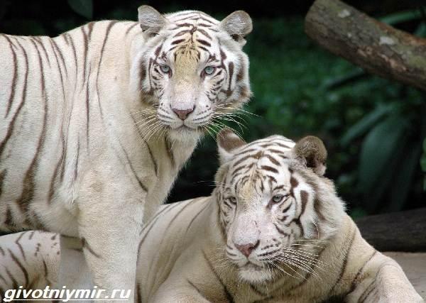 Белый-тигр-Образ-жизни-и-среда-обитания-белого-тигра-7