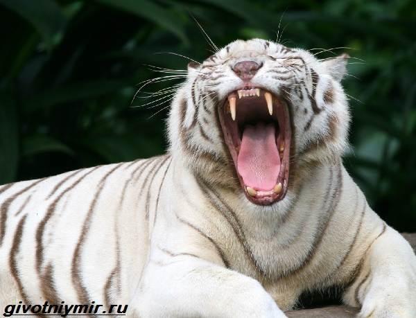 Белый-тигр-Образ-жизни-и-среда-обитания-белого-тигра-8