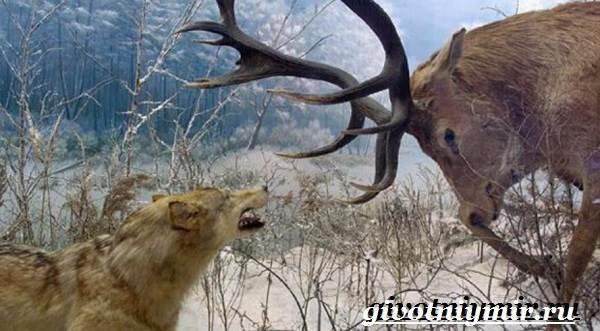 Благородный-олень-Образ-жизни-и-среда-обитания-благородного-оленя-12-1