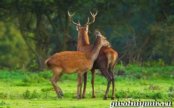 Благородный-олень-Образ-жизни-и-среда-обитания-благородного-оленя-15
