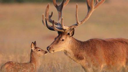 Благородный олень. Образ жизни и среда обитания благородного оленя