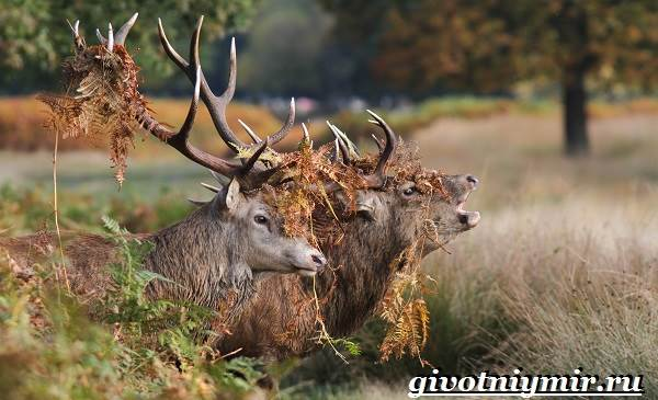 Благородный-олень-Образ-жизни-и-среда-обитания-благородного-оленя-21