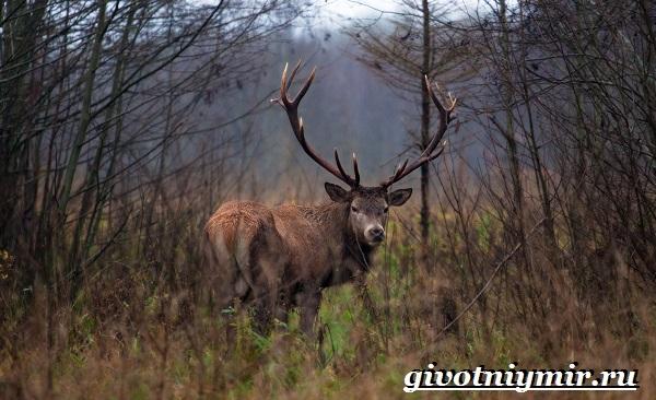 Благородный-олень-Образ-жизни-и-среда-обитания-благородного-оленя-22