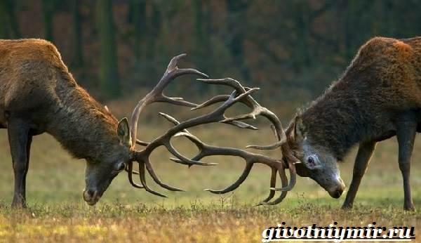 Благородный-олень-Образ-жизни-и-среда-обитания-благородного-оленя-3-1