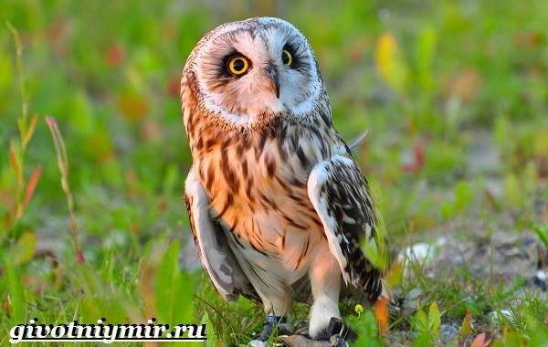 Болотная-сова-птица-Образ-жизни-и-среда-обитания-болотной-совы-10