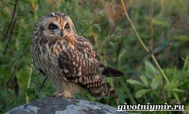 Болотная-сова-птица-Образ-жизни-и-среда-обитания-болотной-совы-11