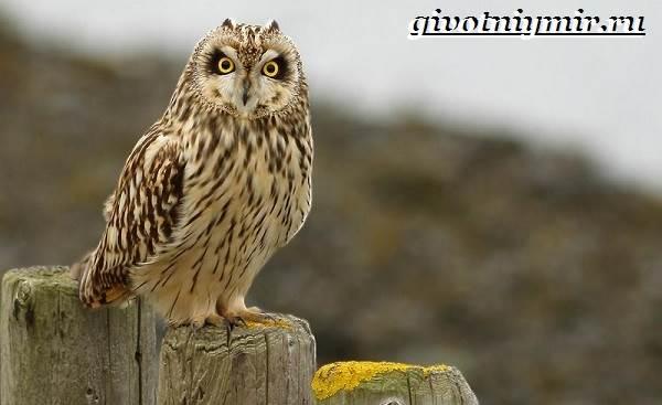 Болотная-сова-птица-Образ-жизни-и-среда-обитания-болотной-совы-12