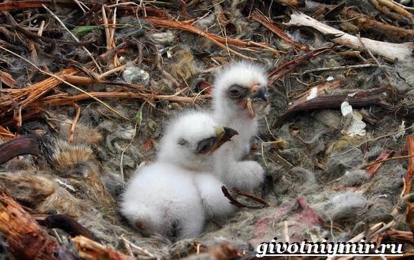 Болотная-сова-птица-Образ-жизни-и-среда-обитания-болотной-совы-14
