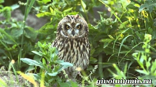 Болотная-сова-птица-Образ-жизни-и-среда-обитания-болотной-совы-4-1