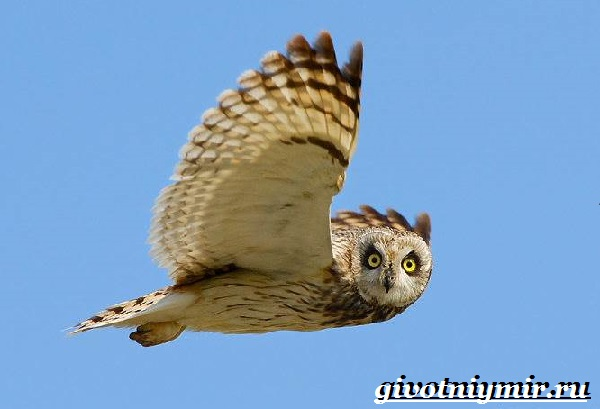 Болотная-сова-птица-Образ-жизни-и-среда-обитания-болотной-совы-8