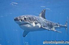 Большая белая акула. Образ жизни и среда обитания большой белой акулы