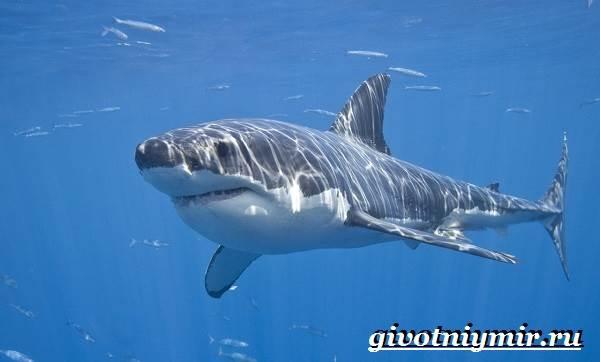 фото большой белой акулы