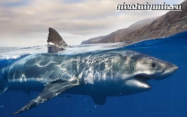 Большая-белая-акула-Образ-жизни-и-среда-обитания-большой-белой-акулы-9