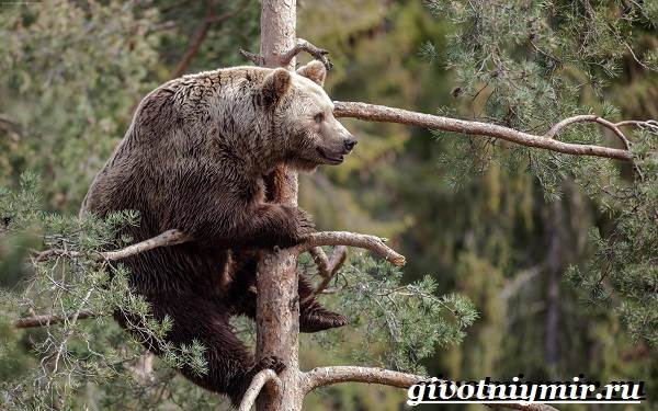 Бурый-медведь-Образ-жизни-и-среда-обитания-бурого-медведя-14