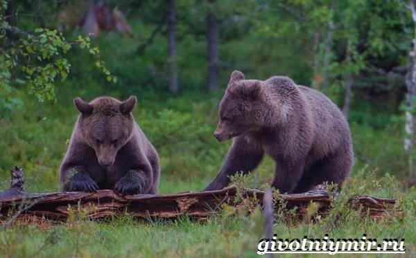 Бурый-медведь-Образ-жизни-и-среда-обитания-бурого-медведя-15