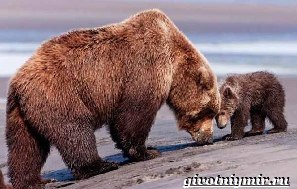 Бурый-медведь-Образ-жизни-и-среда-обитания-бурого-медведя-16