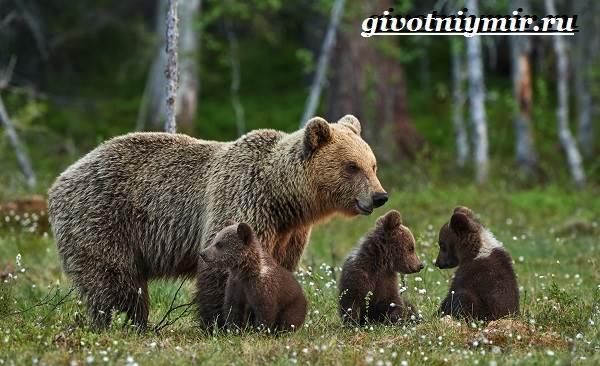 Бурый-медведь-Образ-жизни-и-среда-обитания-бурого-медведя-19
